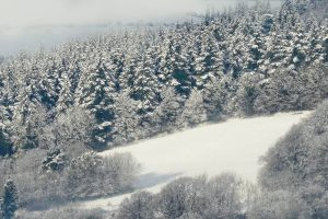 snowy pine trees in Ceredigion
