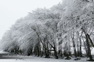 Beech trees in the snow